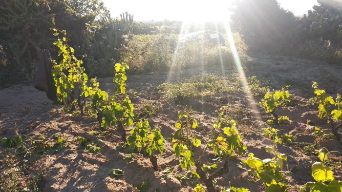 Potatura Verde Carignano Di Sant'Antioco